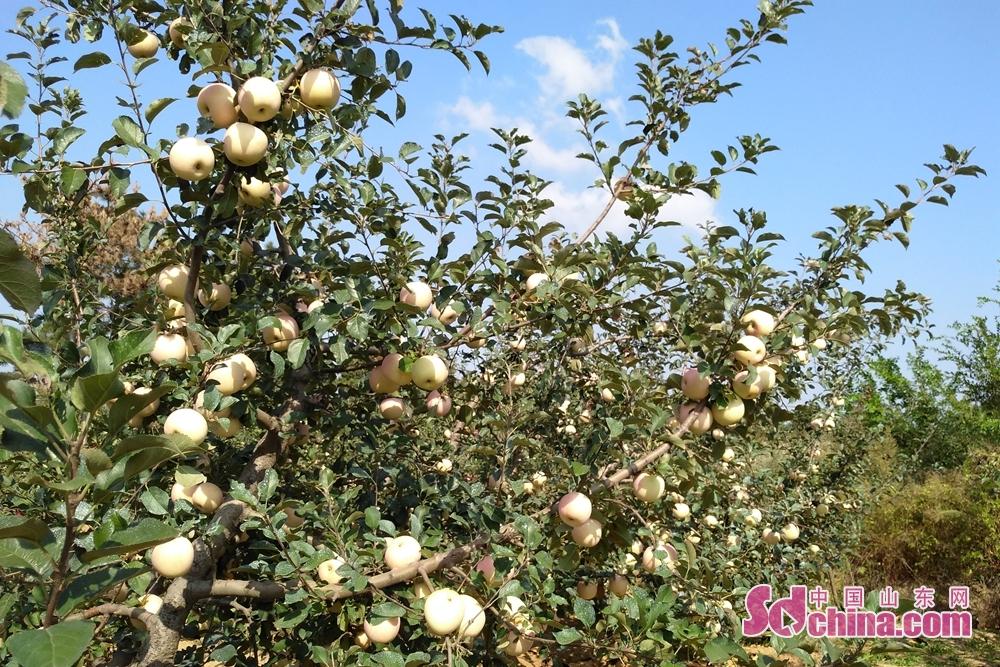 <br/>  秋天是丰收的季节,老家的苹果园又开始忙碌起来。记者返乡劳作,把国庆节过成劳动节。累并快乐着,丰收的喜悦荡漾在心头。<br/>