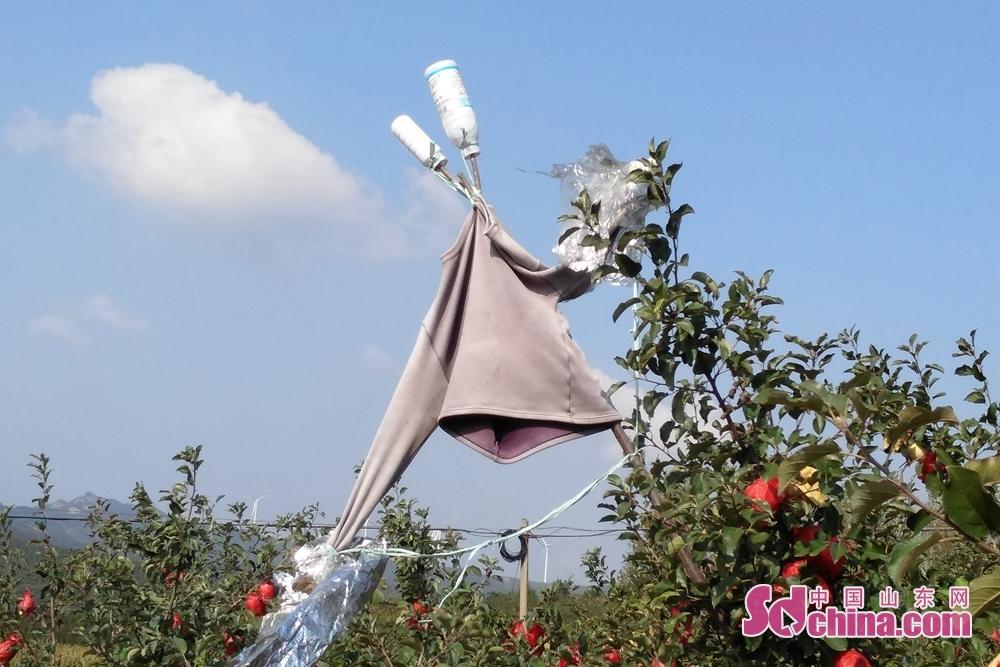 <br/>  为了防止喜鹊偷食苹果,果树上扎着一个草人,充满了童趣。