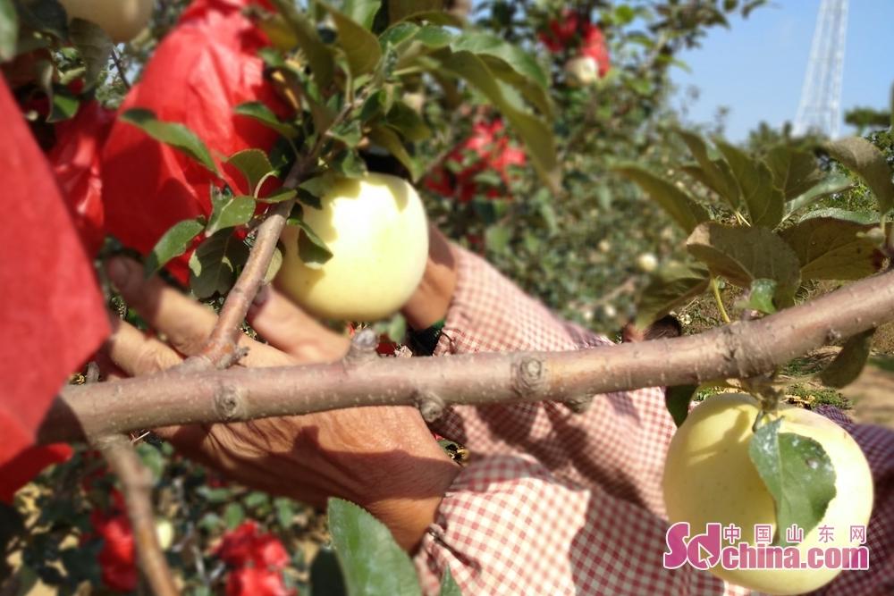<br/>  通风透气后,等苹果适应了外界的温度和光照,才能褪去红纸袋。<br/>