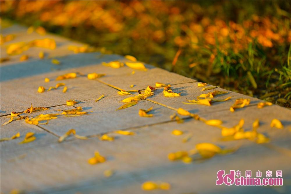 <br/>  阳光枫叶静静地躺在地上享受秋日的暖阳。<br/>