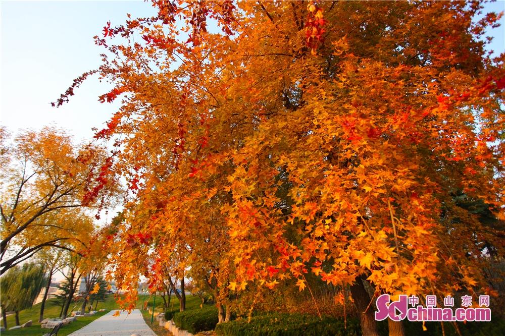 <br/>  渐入深秋,潍坊市区浞河景区的枫叶正当时,秋色正浓惹人醉。<br/>
