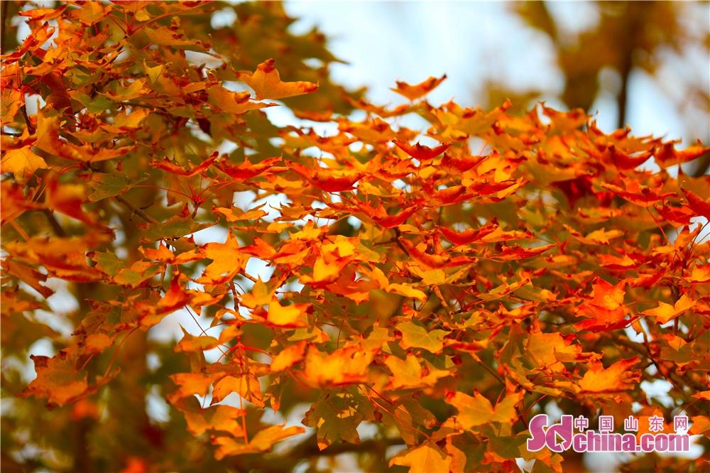 <br/>  枫叶挂满枝头,不禁让人想到看万山红遍层林尽染。<br/>