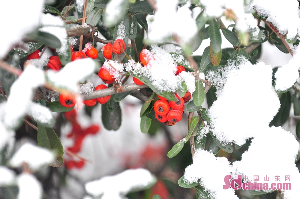 Photo taken on December 11 shows the plant covered by snow and ice in Qingdao, a coastal city of Shandong Province.