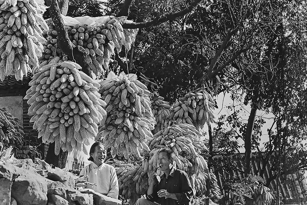 1984年秋,牟平县水道公社一个农户将责任田收获的玉米挂在自家的树上。1983年,烟台地区农村普遍实行家庭联产承包责任制。(汪汝峰)<br/>