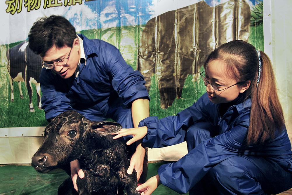 2003年10月8日,世界首例冷冻克隆牛胚胎移植犊牛在莱阳诞生 (刘学龙)<br/>