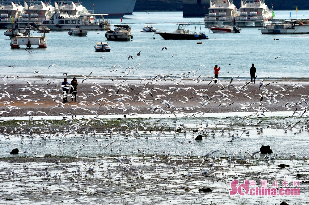 Numerous black-headed gulls are seen flying in Qingdao Zhanqiao Scenic Spot, east China's Shandong province, Feb 19, 2018.<br/>