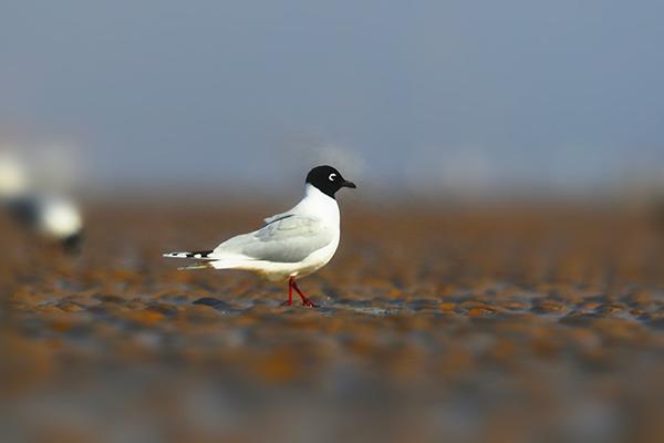 全球性濒危鸟类——黑嘴鸥翔集威海南海新区