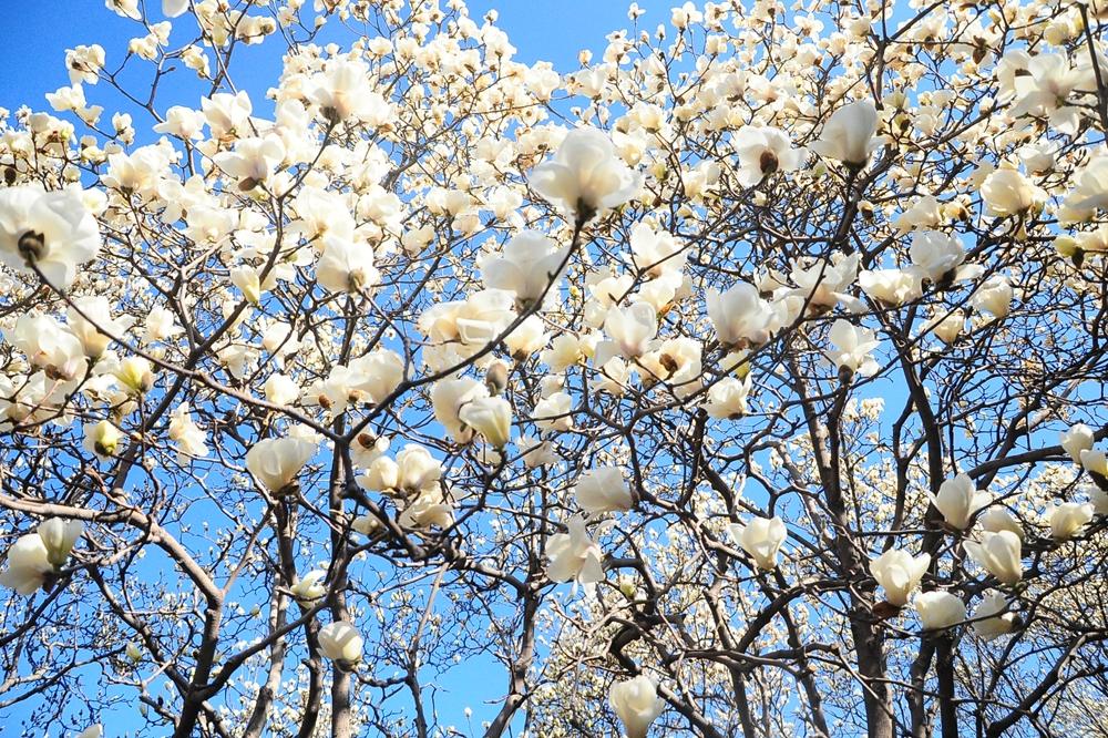 百花公园玉兰花进入盛开期 赏花正当时