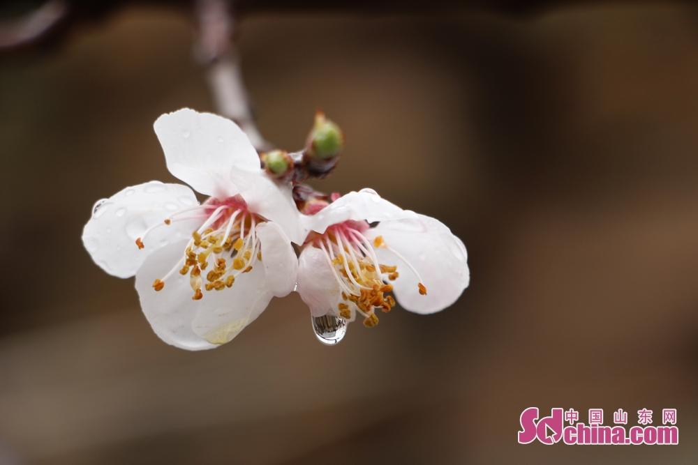 娇艳欲滴的杏花似乎在表达着对春的爱意。<br/>