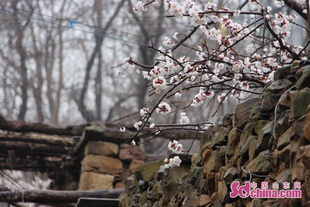 石墙内探出的杏花表达了对春的敬意。<br/>