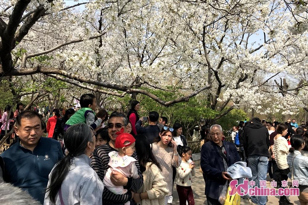 このほど、天気は温かくなり、五龍潭の桜の花は満開を迎えており、多くの市民と観光客はここへお花見していた。<br/>
