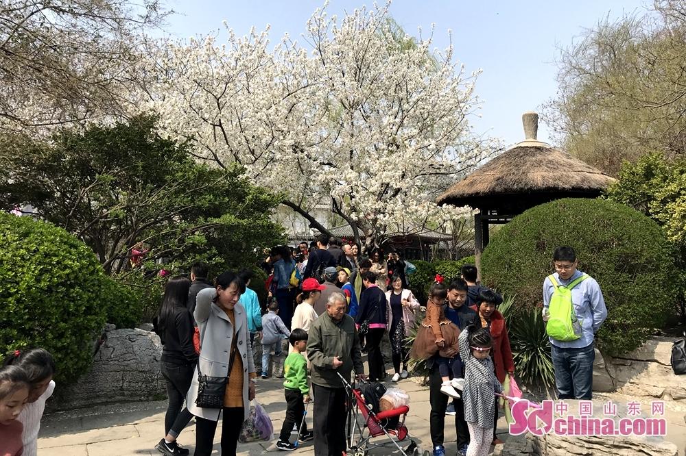 多くの市民と観光客はここへお花見していた。<br/>  中国山東網