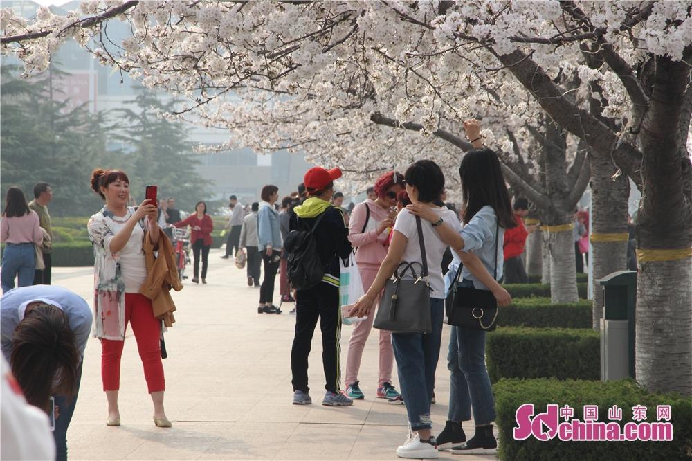 <br/>  盛开的樱花吸引了众多市民、游客前来赏花踏青,人头攒动,游人如织。<br/>
