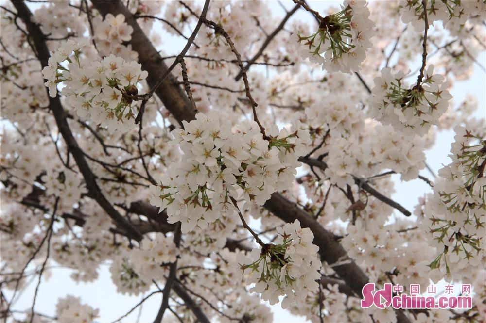 <br/>  人民广场是潍坊市民赏樱花的不二选择。<br/>
