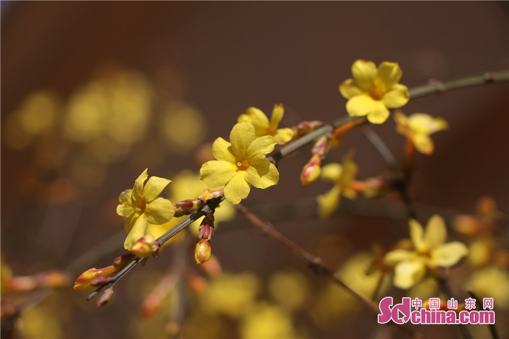 Winter jasmine blossoms is seen in Zibo, east China's Shandong Province, on March 8, 2018.<br/>