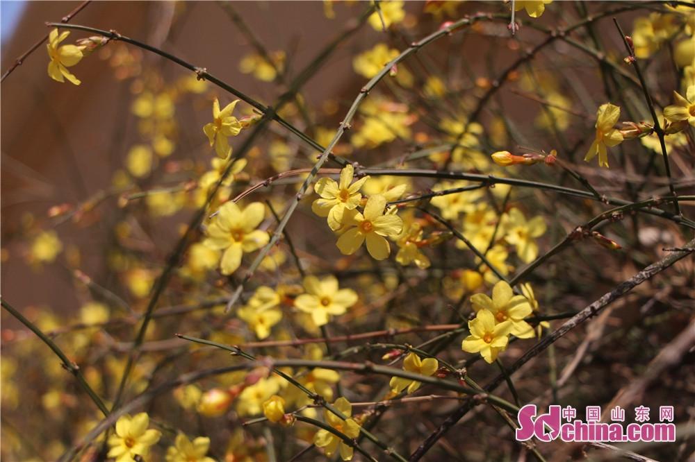 <br/>        花开一片片,条条金黄展风姿。