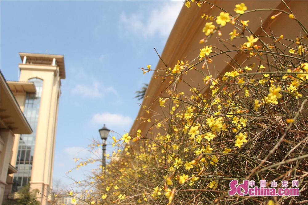 Winter jasmine blossoms is seen in Zibo, east China's Shandong Province, on March 8, 2018. (Sdchina.com/Wang Yuan)<br/>
