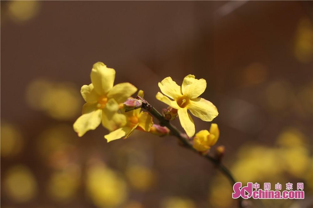 <br/>        迎春花绽放,融融春意显。