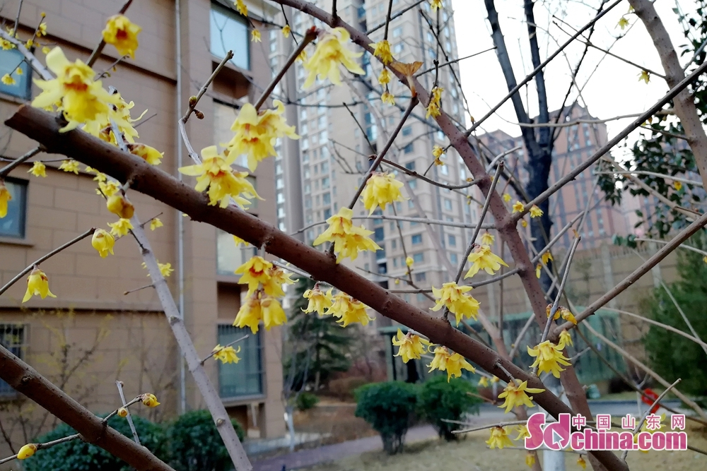 Photo taken on March 9, 2018 shows wintersweet in bloom in Jinan, capital of Shandong province. (Photo/sdchina/Hu Lirong)