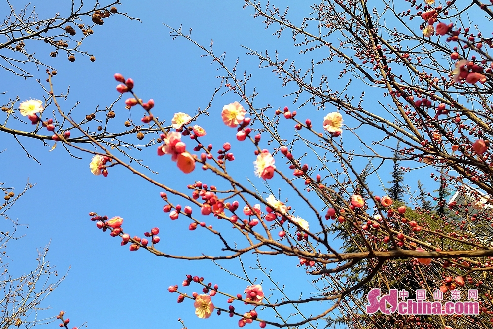 Photo taken on March 9, 2018 shows peaches budding in Jinan, capital of Shandong province. (Photo/sdchina/Hu Lirong)<br/>