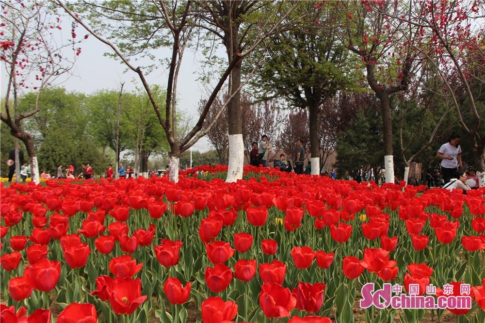 <br/> 4月1日,济宁市高新区杨家河公园的郁金香进入盛花期,10万余株不同色系、不同品种的郁金香次第怒放,整个公园都弥漫着花香,吸引了大批市民前来赏花拍照。