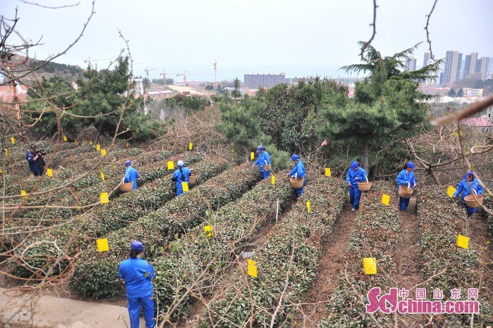 작년 강우량 충분하고 가을 때 차나무에게 비료 주고 가을 때 심각한 추위로 입은 상처가 없고 올해 차잎의 품질이 예전보다 좋아다고 관련 책임자가 말했다.<br/>
