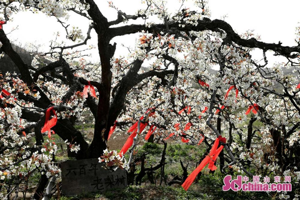 <br/>  图为肖家沟六百年树龄的梨树王。