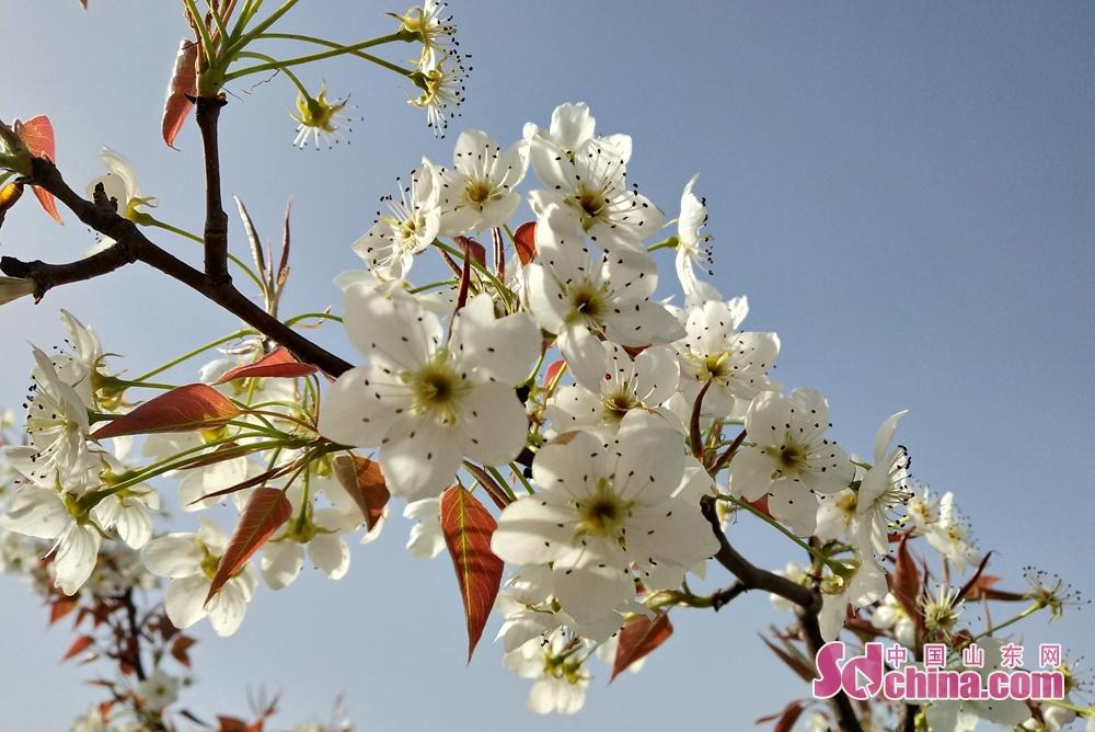 <br/>  烟台市福山区高疃镇肖家沟以香水梨闻名中外,迄今有600余年种植历史,年产香水梨50万公斤,农民仅此一项增收400余万元。<br/>