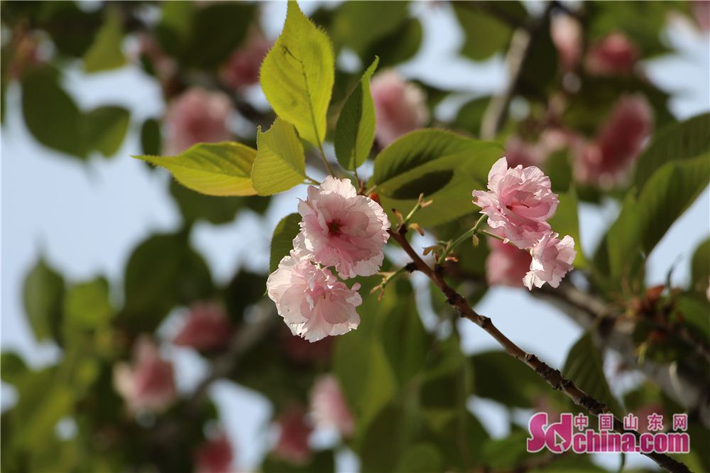 Photo taken on April 16 shows cherry blossoms in Lixia District of Jinan, east China's Shandong Province. (sdchina.com/Zhang Yuanyuan)<br/>