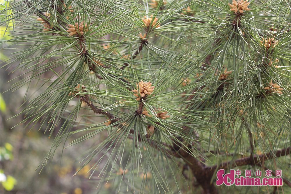 Photo taken on April 16 shows pine branches in Lixia District of Jinan, east China's Shandong Province. (sdchina.com/Zhang Yuanyuan)<br/>