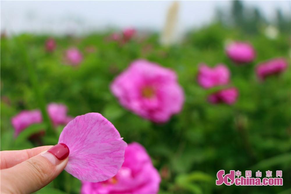 <br/>  花儿们都竟相开放,玫瑰张开鲜艳的花瓣。