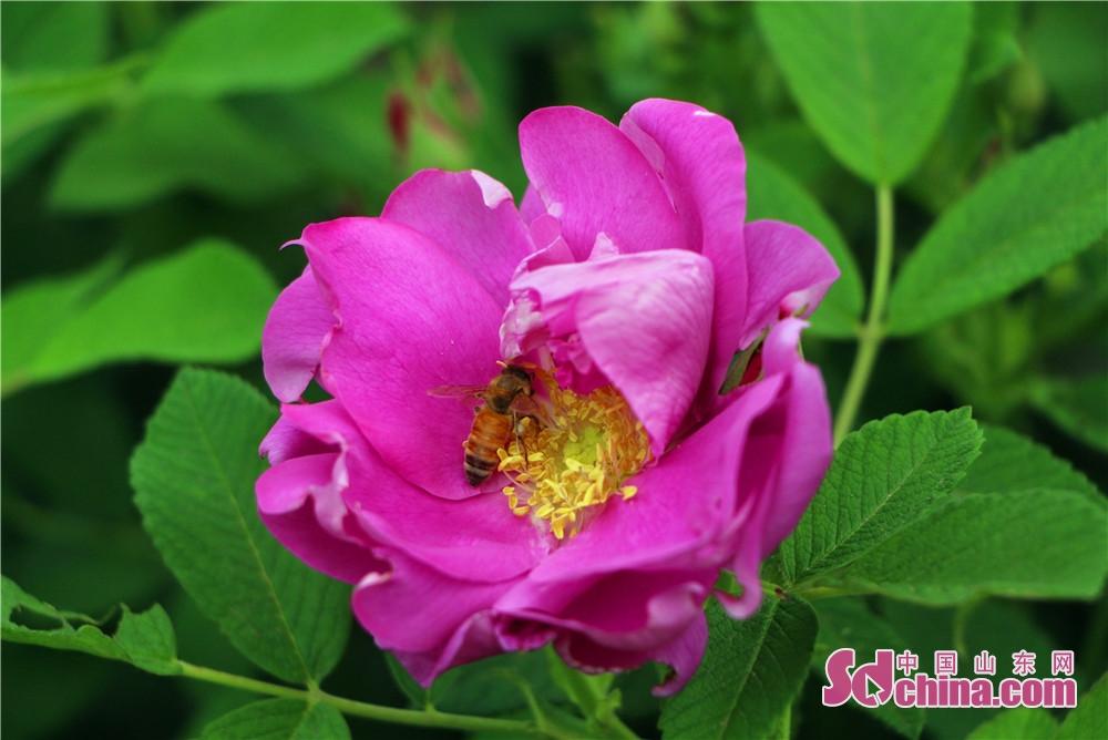<br/>  花瓣中间有金黄色的花蕊,花蕊顶端粘着花粉,散发出阵阵醉人的芳香,引来一群蜜蜂&amp;ldquo;嗡嗡&amp;rdquo;地奔波忙碌,四周蝶飞翩翩,伴着可爱的玫瑰花。