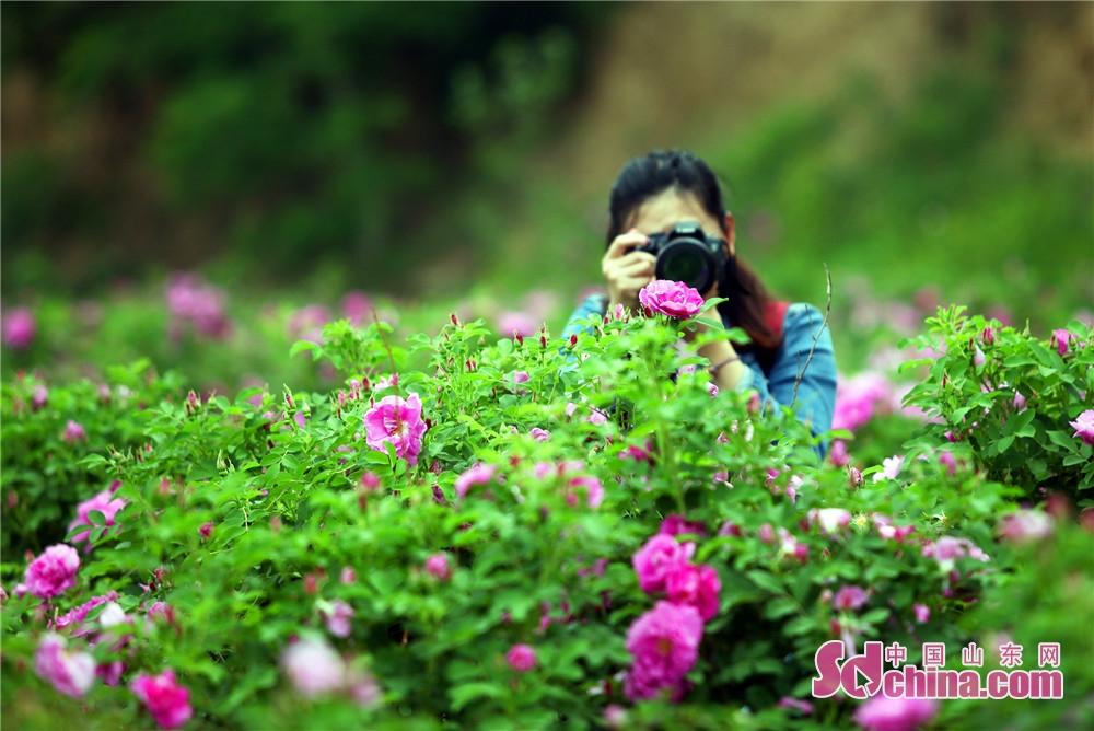 <br/>  玫瑰花已经绽开了笑脸,花朵像个小酒杯,玫瑰花看上去美艳而富有魅力,轻轻地贴近它,一股淡淡的清香扑鼻而来。图为玫瑰花成为记者镜头中的&amp;ldquo;模特&amp;rdquo;。
