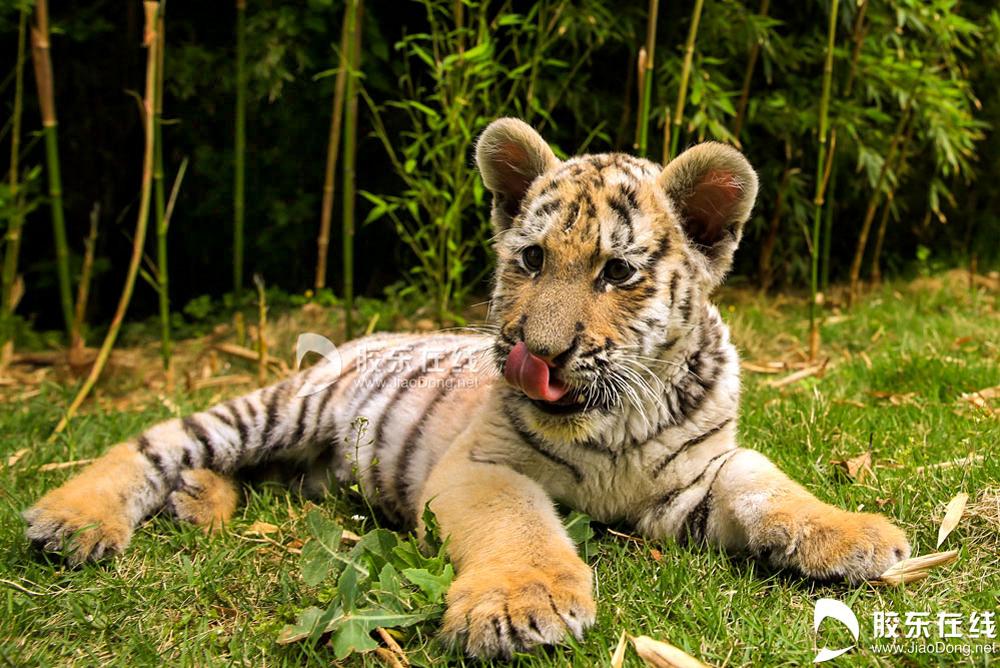 <br/>  5月21日在烟台南山公园动物园拍摄的东北虎幼仔。 胶东在线记者 李刚 摄<br/>