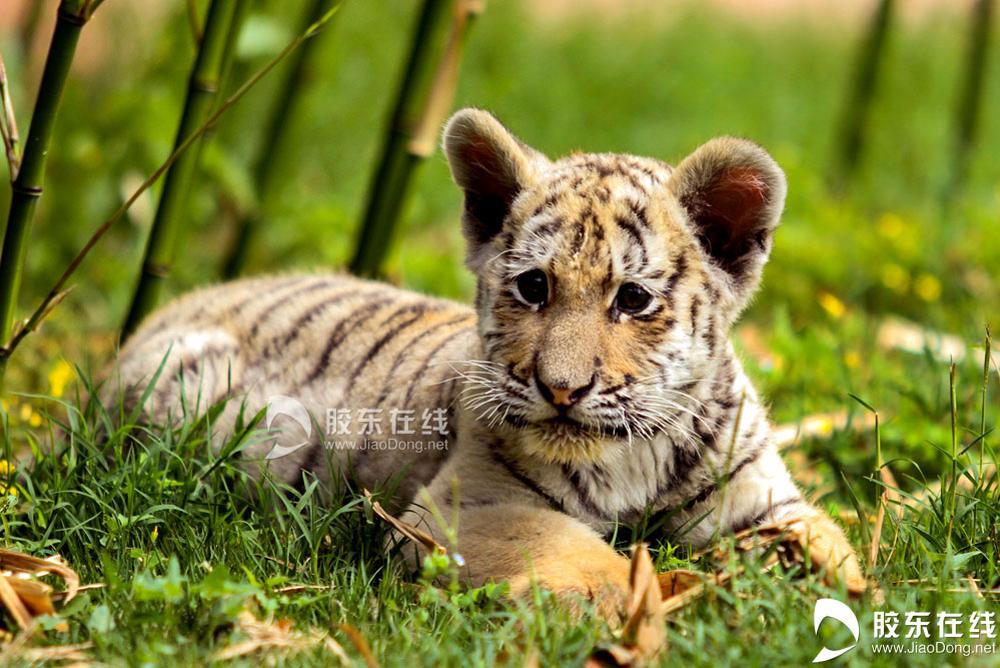 <br/>  5月21日在烟台南山公园动物园拍摄的东北虎幼仔。 胶东在线记者 李刚 摄 <br/>