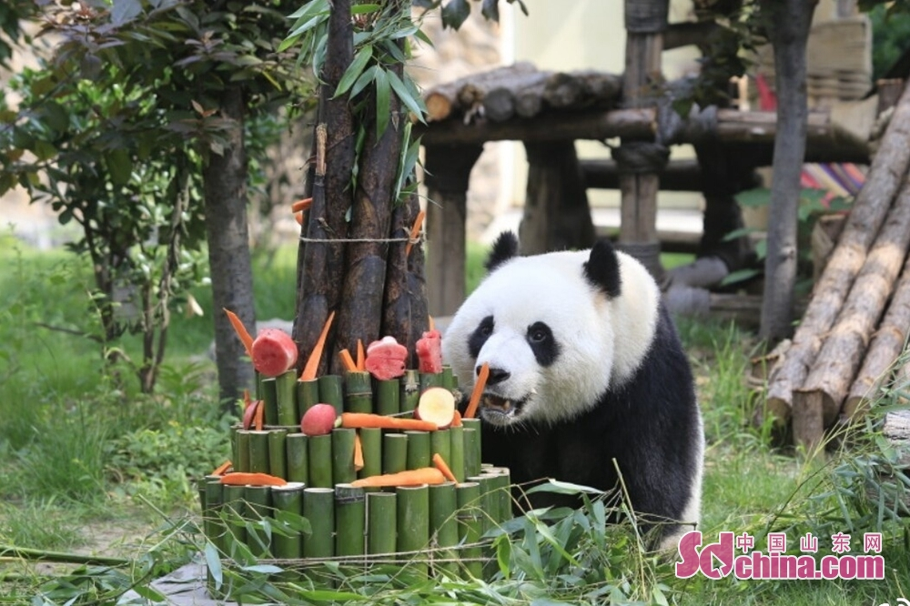 5月26日、パンダの雅吉は4歳の誕生日を迎えた。済南動物園のパンダ保育員とファンたちはたけのこ、ニンジン、リンゴ、ドラゴンフルーツなどの果物で誕生日ケーキを作り、誕生日パーティも開いた。<br/>