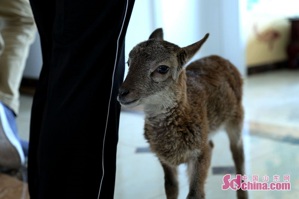 A new-born argali is seen in Jinan Zoo in the namesake city of Shandong Province. The 24-year-old Li Wei, a nursery governess of Jinan Zoo, took the responsibility for looking after an argali lamb that abandoned by its mother for the premature delivery.<br/>