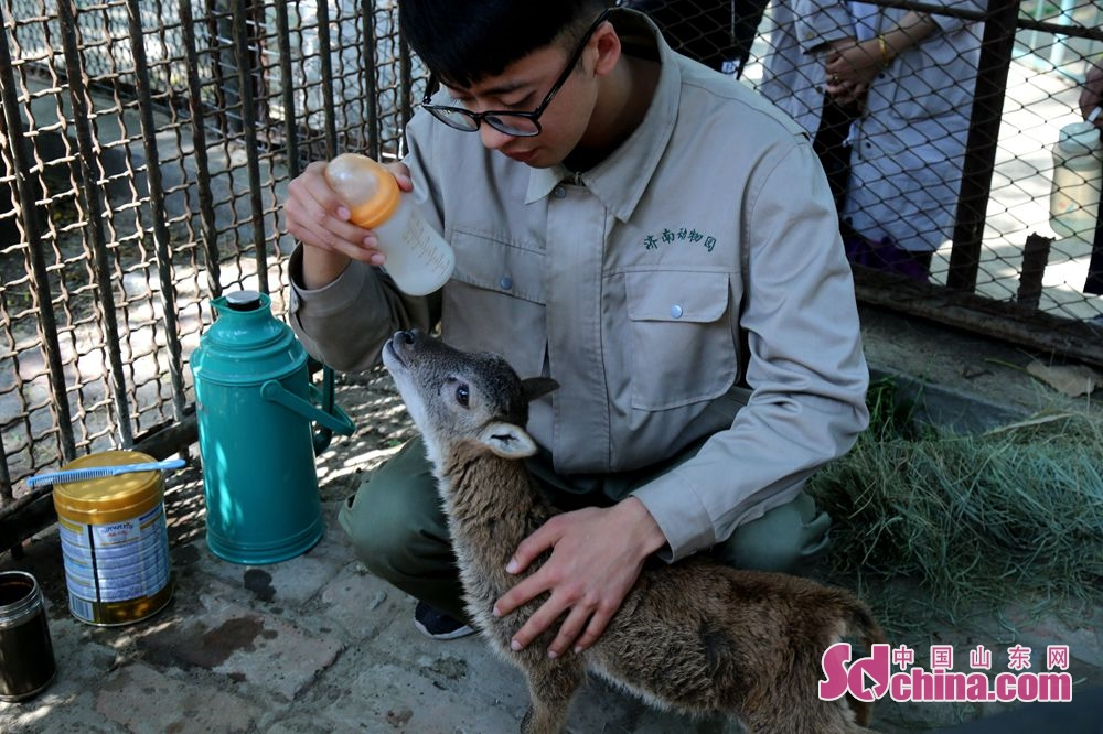 Li Wei feeds the argali lamb in Jinan Zoo in the namesake city of Shandong Province. The 24-year-old Li Wei, a nursery governess of Jinan Zoo, took the responsibility for looking after an argali lamb that abandoned by its mother for the premature delivery.<br/>