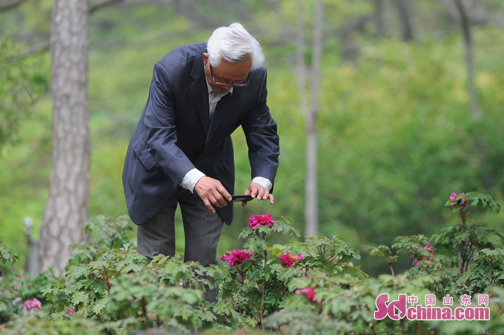 Visitors enjoy the view of peony in Qingdao, south Shandong Peninsula. (sdchina.com/Wang Haibin)<br/>