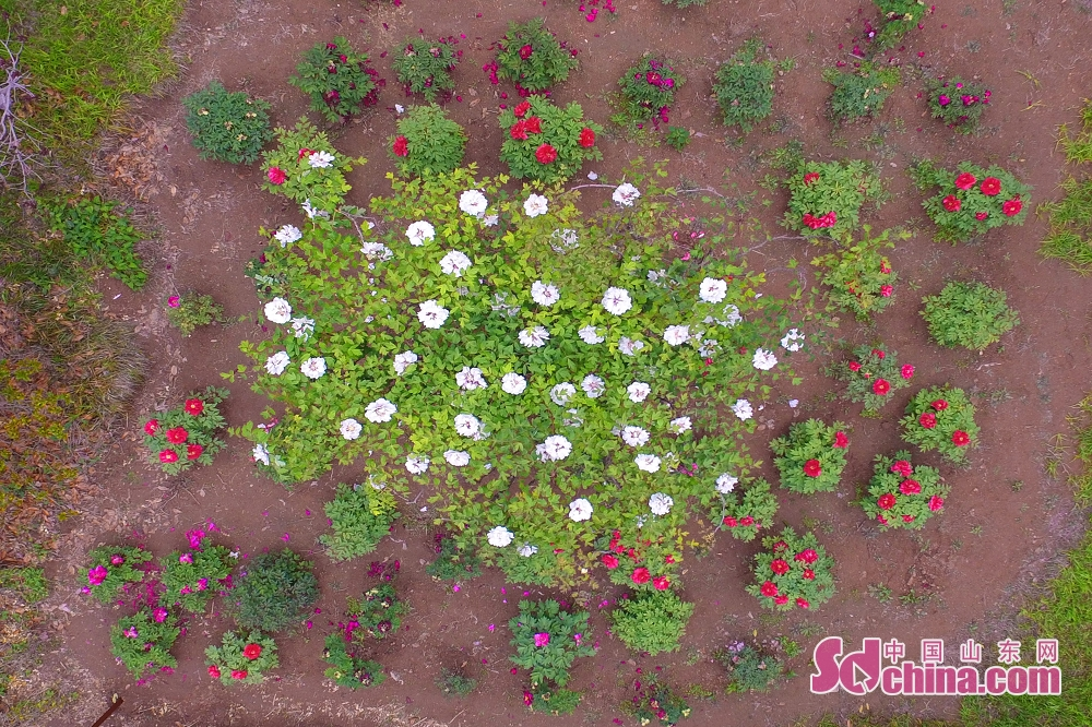 Peony flowers are in full bloom recently in Qingdao, south Shandong Peninsula. (sdchina.com/Wang Haibin)<br/>