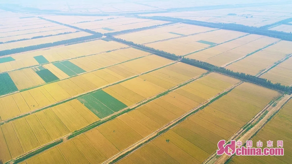 <br/>  小麦陆续进入收获期,田野里遍地金黄,东营市牛庄镇7万5千亩小麦收获全面展开。<br/>