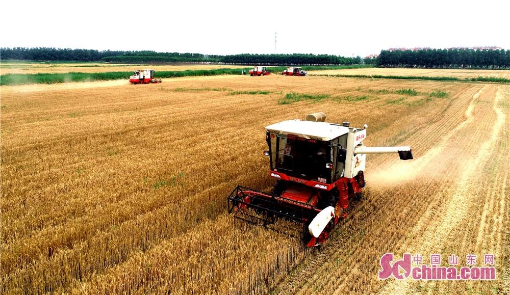 <br/>  2018年6月7日,山东省东营市东营区牛庄镇金丰家庭农场小麦喜获丰收,收割机在收割小麦。<br/>