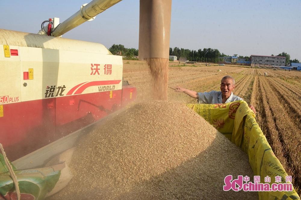 <br/>  2018年6月4日,山东省聊城市辖区600万亩小麦成熟开机收割,这是茌平县肖庄镇、胡屯镇、韩屯镇、菜屯镇及高唐县清平镇小麦大田及收割现场,农民们冒着高温,一边收割小麦,一边玉米播种,一边浇地保墒,已经全力以赴进入三夏生产。<br/>