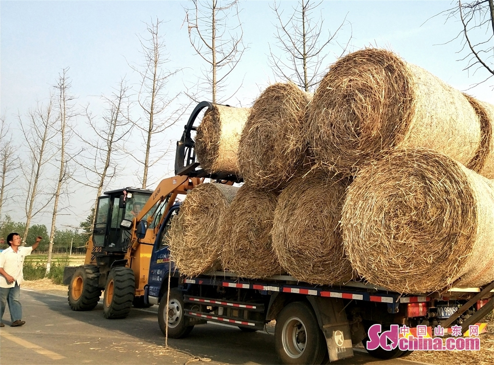<br/>  6月8日,在郯城县马头镇马南社区湖片,收割下的数千亩麦草秸秆被一一打捆整装待发。郯城县大力扶持和推广小麦秸秆的综合利用技术,直接将农作物秸秆用于草编工艺品加工、农业种植养殖、生物质发电和环保颗粒燃料等领域,不仅提高了农作物秸秆综合利用的能力,减少了秸秆焚烧的概率,而且为农民换来了额外收入,有力地促进了生态环保还原的力度。图为在郯城县马头镇马南社区的的路旁,购买秸秆的客户正指挥装运成捆的秸秆。(高军 摄影)<br/>