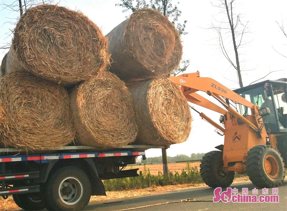 <br/>  6月8日,在郯城县马头镇马南社区湖片,收割下的数千亩麦草秸秆被一一打捆整装待发。郯城县大力扶持和推广小麦秸秆的综合利用技术,直接将农作物秸秆用于草编工艺品加工、农业种植养殖、生物质发电和环保颗粒燃料等领域,不仅提高了农作物秸秆综合利用的能力,减少了秸秆焚烧的概率,而且为农民换来了额外收入,有力地促进了生态环保还原的力度。一捆捆秸秆在装载机的搬运下装上了车,准备外运加工利用。(高军 摄影)