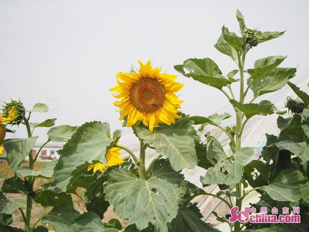 合作社充分利用棚与棚之间的空地,种植的向日葵花开引人观赏。<br/>