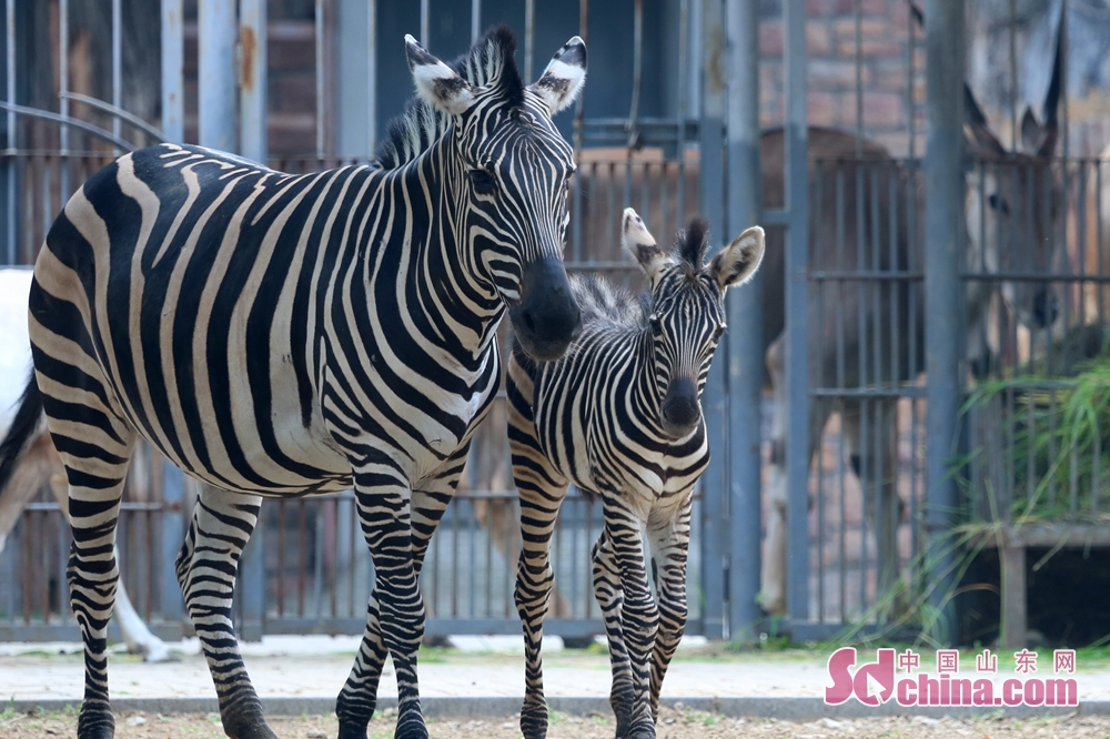 Zebras are seen in Jinan Zoo in Jinan, east China&amp;rsquo;s Shandong Province. In the first half of 2018, Jinan Zoo has bred nearly 100 of 21 species of first and second-grade national protected animals. (Photo provided by Guo Ling)<br/>