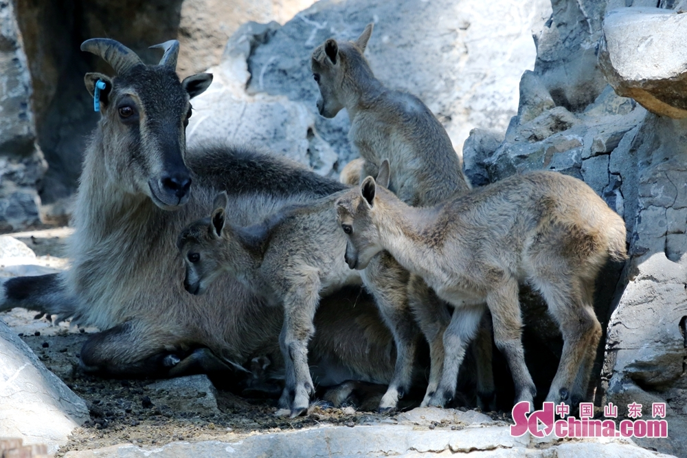 Tahrs are seen in Jinan Zoo in Jinan, east China&amp;rsquo;s Shandong Province. In the first half of 2018, Jinan Zoo has bred nearly 100 of 21 species of first and second-grade national protected animals. (Photo provided by Guo Ling)<br/>