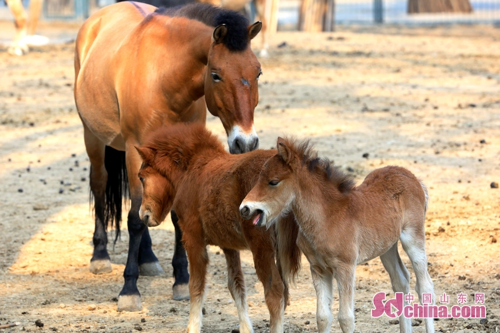 Sichuan horses are seen in Jinan Zoo in Jinan, east China&amp;rsquo;s Shandong Province. In the first half of 2018, Jinan Zoo has bred nearly 100 of 21 species of first and second-grade national protected animals. (Photo provided by Guo Ling)<br/>