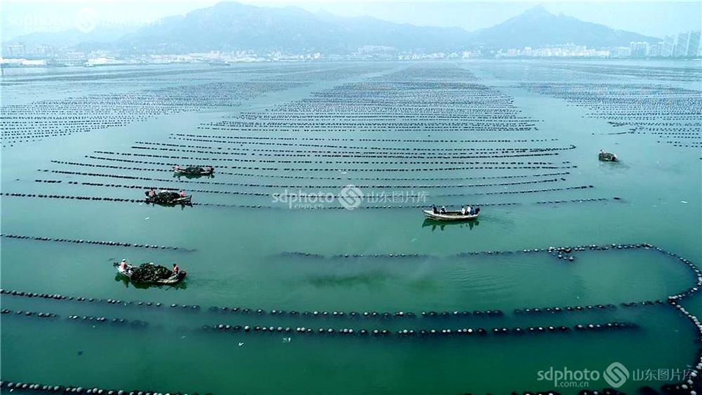 <br/>  为整治规范养殖用海秩序,还海洋生态环境,依据《中华人民共和国海域使用管理法》等法律法规,荣成市对管辖海域内所有未取得海域使用权或擅自改变海域用途的筏式养殖、网箱养殖等非法养殖物及设施进行全面清理。要求在2018年9月30日前,列入清理范围内的单位和个人,要自行拆除、回收所有养殖物及附属设施。对逾期未自行清理海上非法养殖物及附属设施的,将强制执行清除。杨志礼摄(图片版权归山东图片库所有,未经授权严禁转载)<br/>